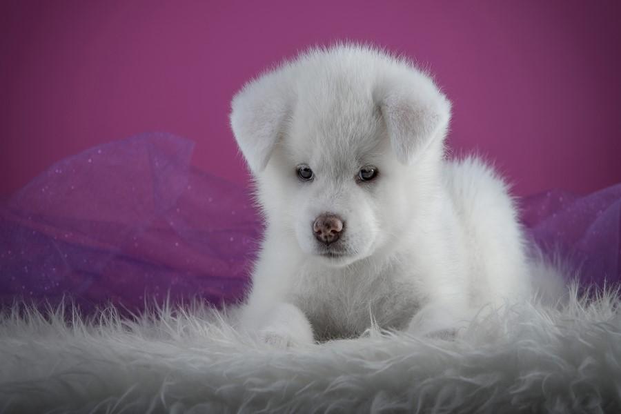 К чему снится белый щенок?