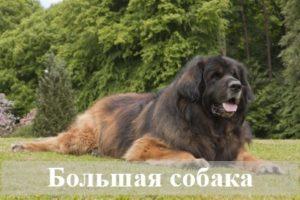 К чему снится большая собака?