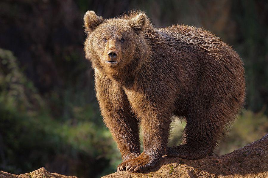 К чему снится бурый медведь?