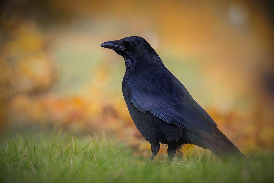 К чему снится черная ворона или ворон: сонник