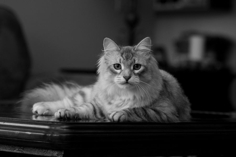 К чему снится кот: толкование по сонникам