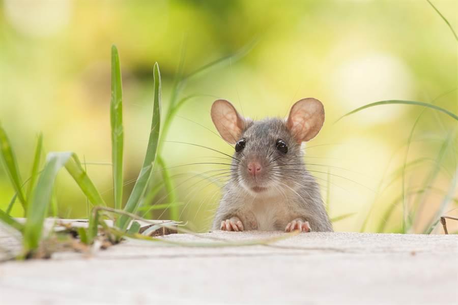 К чему снится крыса: толкование снов о крысах