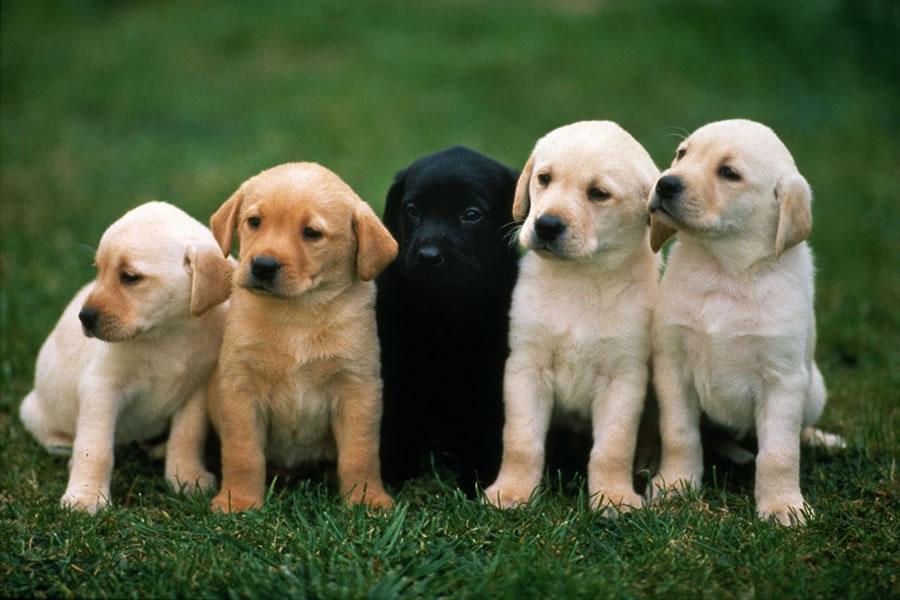 К чему снится много собак: толкования сонников