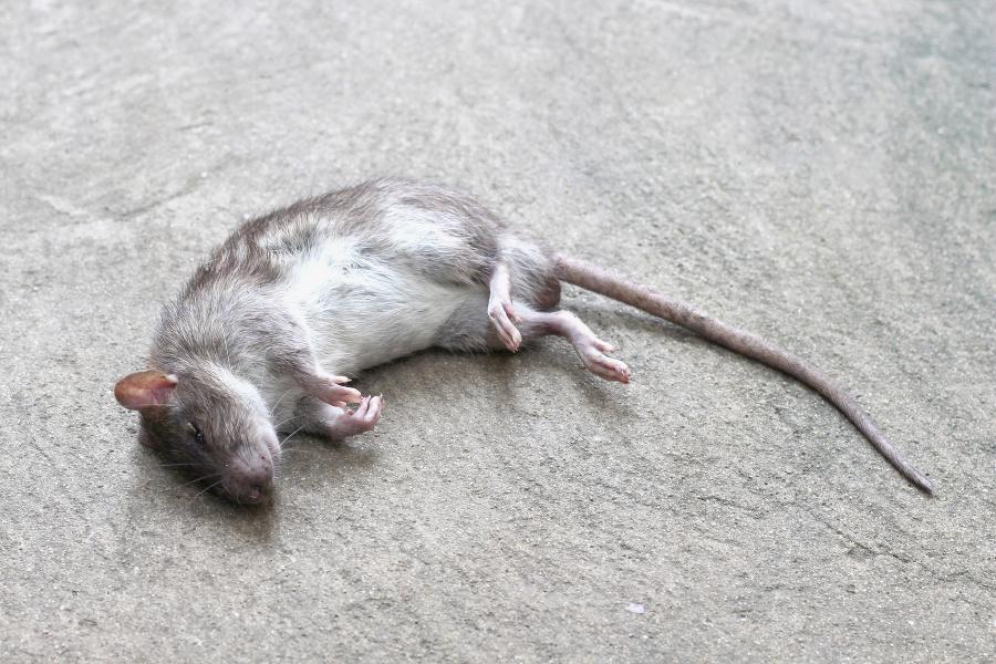 К чему снится убить крысу: толкование по сонникам