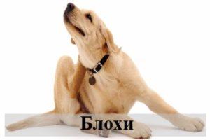 К чему снятся блохи на кошке, собаке и человеке согласно трактованиям различных сонников?