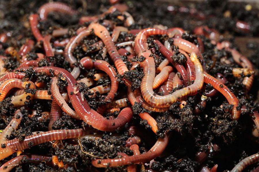 К чему снятся дождевые черви: толкования из разных сонников