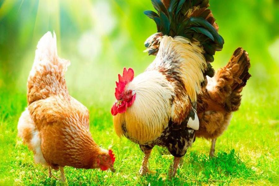 К чему снятся курицы и петухи (живые) – сонник