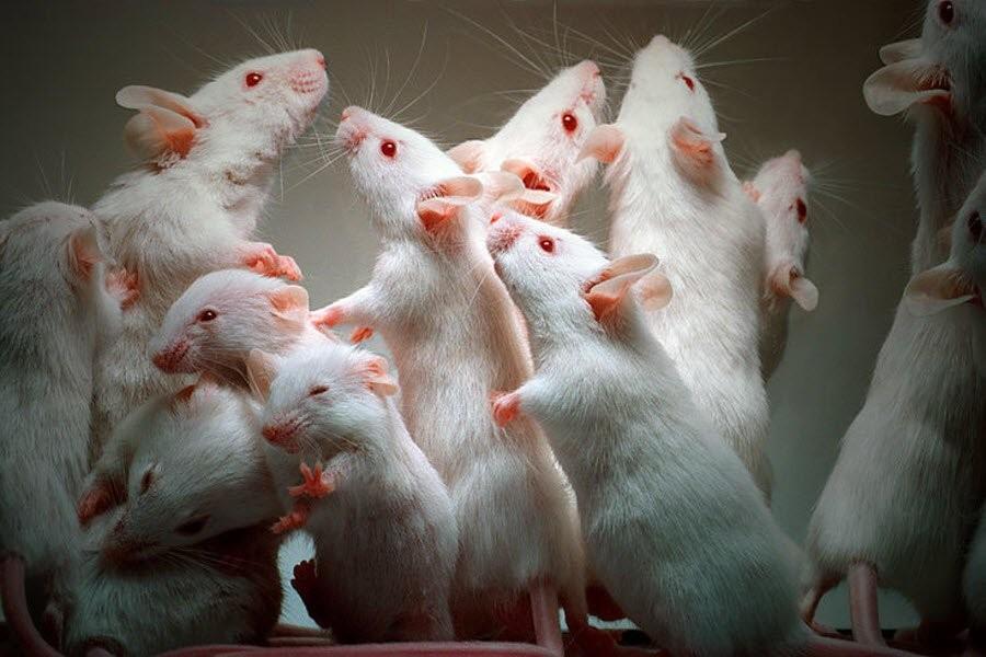 К чему снятся мыши и крысы?