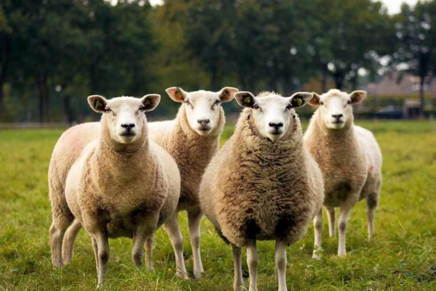 К чему снятся овцы: толкование по соннику