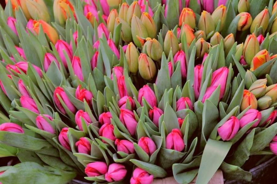 К чему снятся тюльпаны: толкование сонников