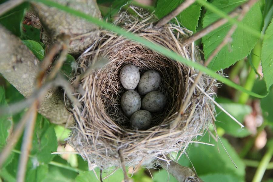 К чему снятся яйца в гнезде: толкование различных сонников