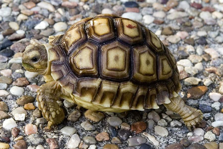 К чему мужчине и женщине снится черепаха?