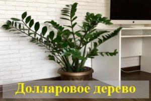 Приметы и суеверия, связанные с долларовым деревом (замиокулькасом)