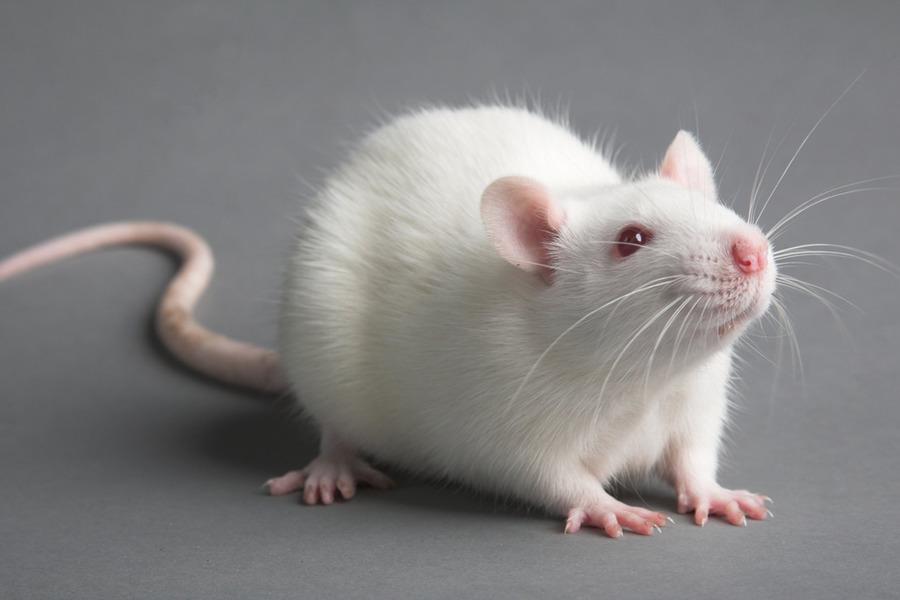 Приснилась белая крыса — толкование сна