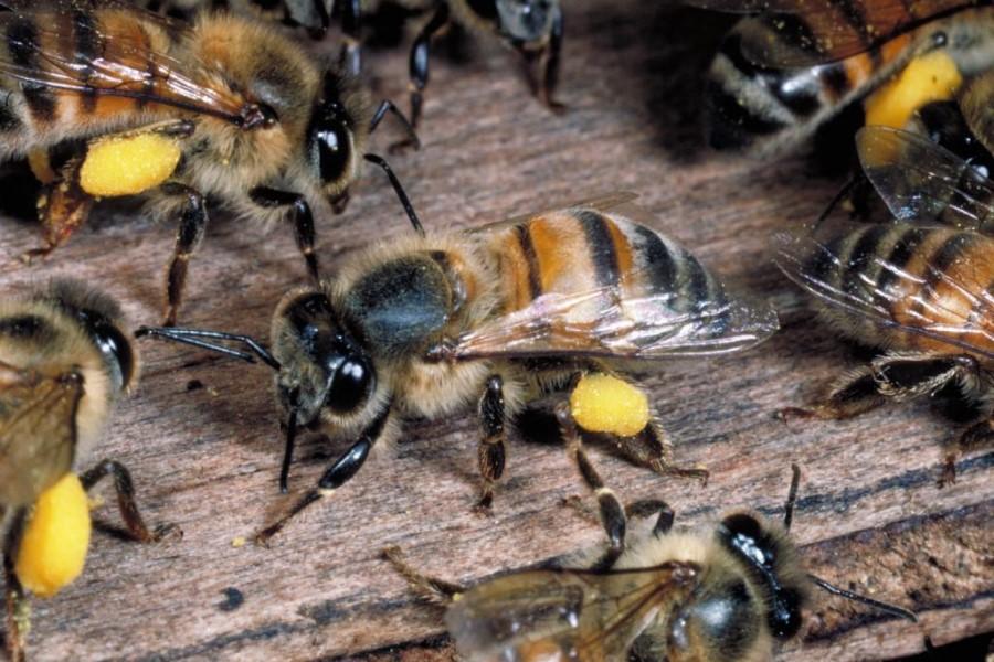 Приснились пчёлы, расшифровка сновидения