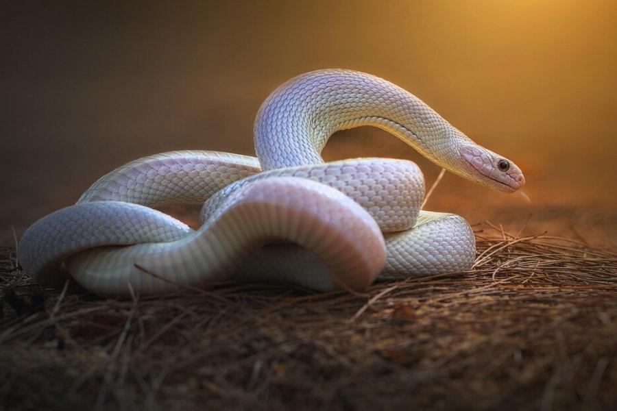 К чему может сниться белая змея мужчине и женщине?