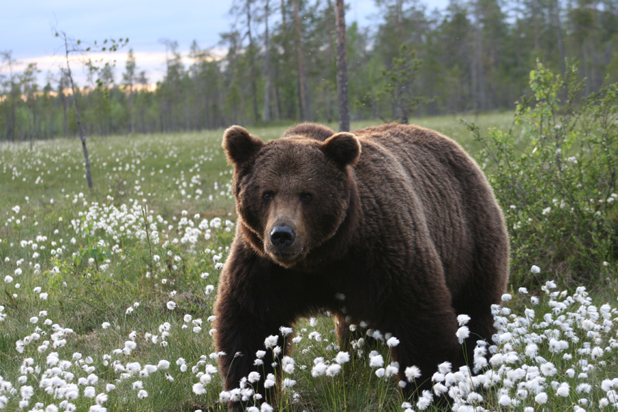 К чему снится медведь женщине, беременной и замужней?
