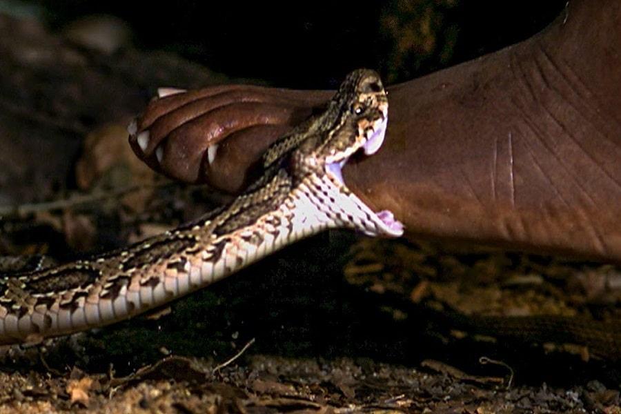 К чему снится укус змеи в разные части тела?