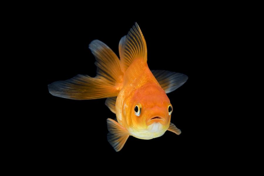 К чему снится золотая рыбка — толкование сновидения