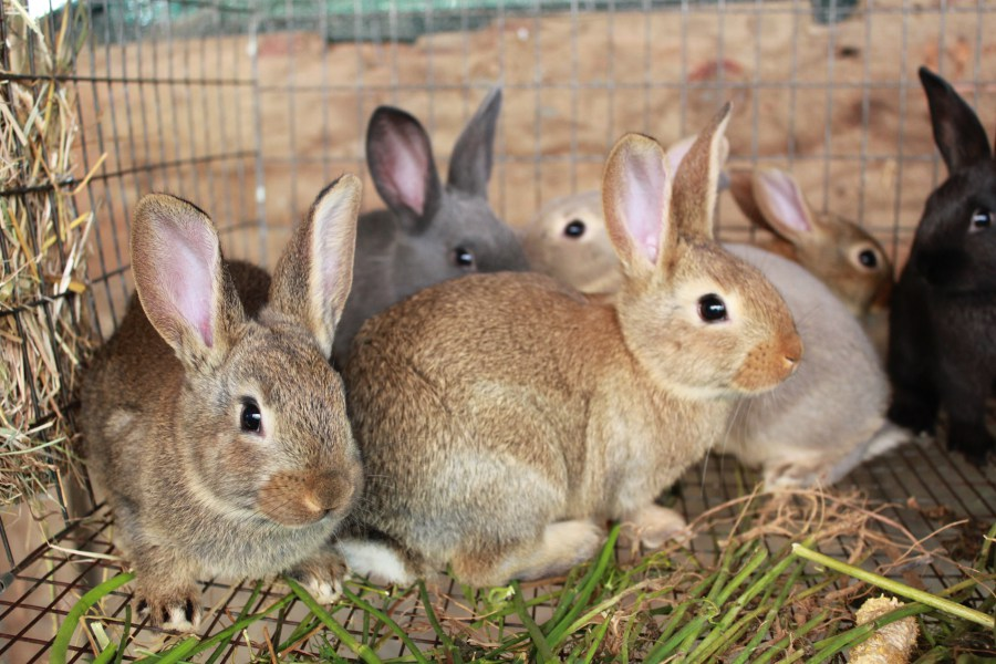 К чему снятся кролики женщинам и мужчинам по различным сонникам?