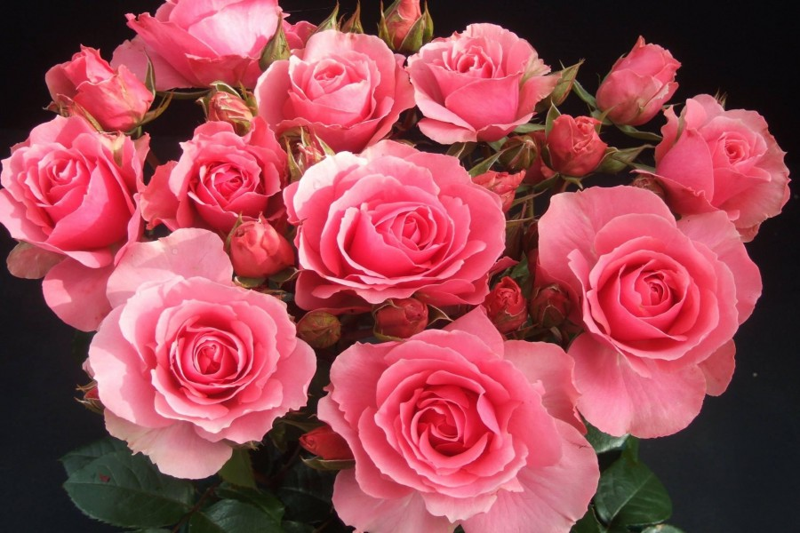 К чему снятся розы: толкования различных сонников