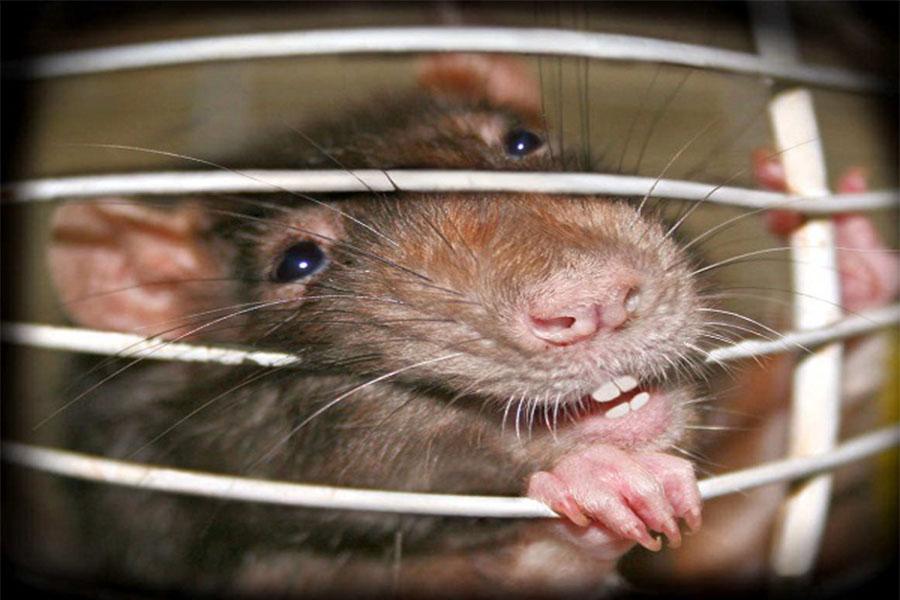 Сонник: к чему снится крыса, которая кусает?