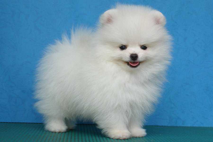 Толкование сонника: к чему приснилась белая собака (большая или маленькая)?