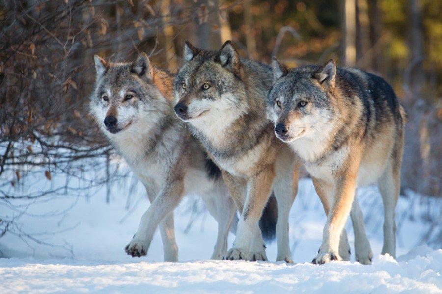 Волки нападают во сне: трактовка сновидения