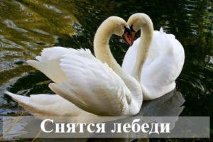 Толкование сонника: к чему снятся лебеди